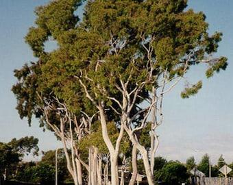 300 Eucalyptus citriodora , Lemon Scented Gum, Corymbia citriodora Seeds,