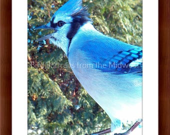 Midwest Bird Photo of a Blue Jay