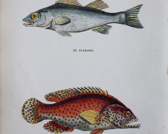 beautiful antique print of  Bass Dicentrarchus labrax  fish 1873