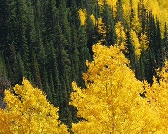 Gold and Green - landscape photograph - trees forest nature wyoming west western aspen