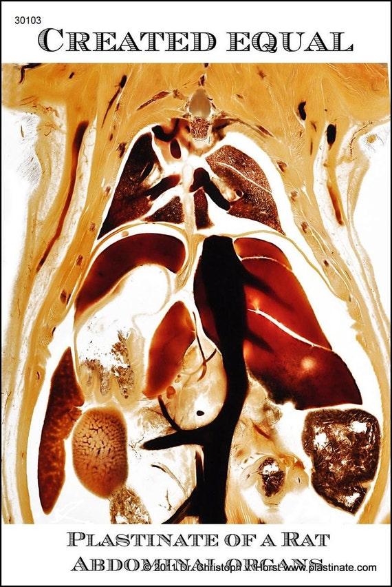 Anatomisches Plastinat der Anatomie einer Ratte / Nagetier