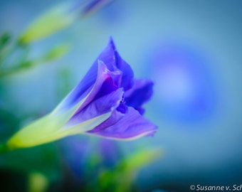 Flower Photography, Heavenly Blue Morning Glory, Flower Photo Print, Healing Art, Soft Sky Blue, Dreamy, Sympathy, Summer, Wall Decor