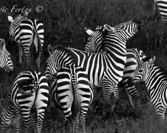 Photograph of a group of zebras - Tanzania