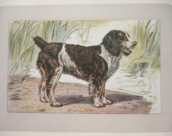 ANTIQUE 1907 ENGLISH Water SPANIEL signed dog print Chromolithograph Mahler German artist Collectors item Christmas, Birthday gift Authentic