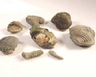 8 Fossils from Ohio