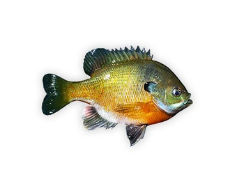 Bluegill Decal - Bluegill Sticker
