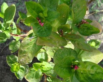 Japanese Indigo Seeds (polygonum tinctorium) RARE