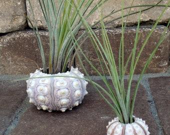 Sea Urchin Air Plant Planter Small, seashell, sea shell, shell, wedding, favor, tillandsia, container, holder, sale, wholesale, bulk