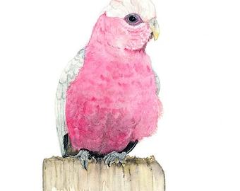 Galah Watercolour Print, Australian Native Bird Fine Art Print, Australian Gift, Bird Wall Art, Pink Parrot Painting