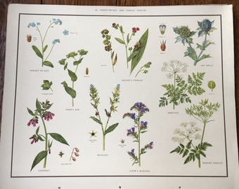 VINTAGE School Poster, Wall Chart, Forget Me Knot & Parsley, Flora, Educational Print, Nature Study, Wildflowers Flowers