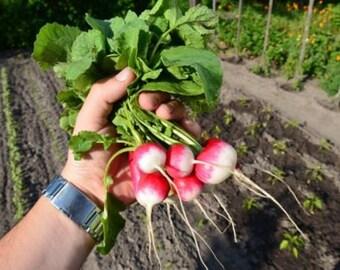 Radieschen halb-Weiß-halb-Rot Samen, 100+ Stück Saatgut aus Eigenanbau