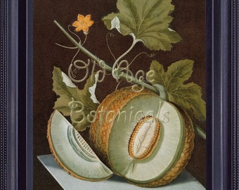 BOTANICAL Print 8x10 Large Vintage Antique Kitchen Art Print Fruits Green Fresh Melon BROOKSHAW Plate 1812 Light Green FV0006