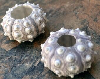 "Sputnik/Thai Sea Urchins (2 pcs.) - (1-2"") - Phyllacanthus Parvispinus"