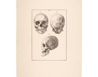 Original Antique Print. Human Skull Study