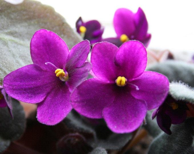 Organic Violet Leaf,  Viola tricolor, Violet Leaf, Violet Tea, Buy Pure Violet Leaf, Violet Herbal Supplement, Certified Organic Violet