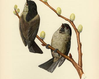 Vintage lithograph of the black-capped chickadee from 1953