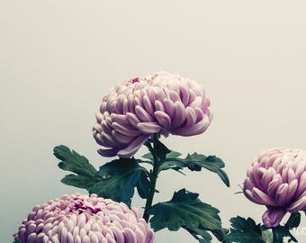Mum Trio; fine art photography, modern, wall art, floral photography, floral, art, photo, botanical, pink floral by F2images