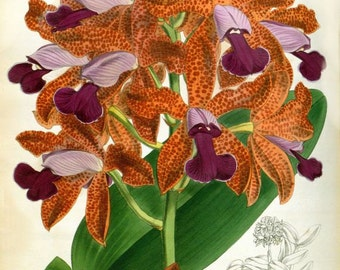 Cattleya guttata var. leopoldii Cattleya leopoldii orchid print flower print botanical illustration reproduction plate The Orchid Album