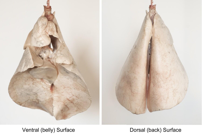 Anatomía del pulmón infla los pulmones de ovinos espécimen