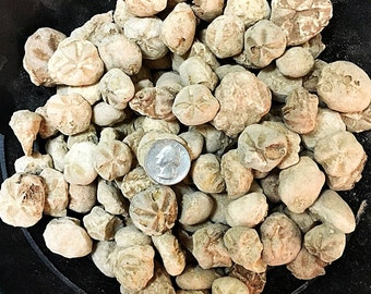 1 Pound of Fossilized Hemiaster Echinoids - Bulk Fossils - Related to Sand Dollars, Heliophora - Great for Jewelry!