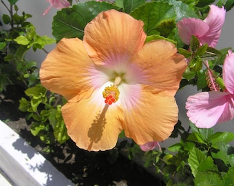 Hibiscus Note Card