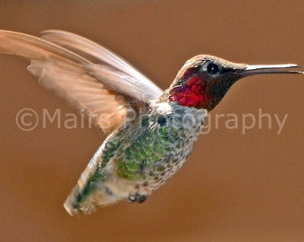 Nursery Decor, Warm Brown Red Green Shimmer Gray White, Anna's Hummingbird, Fine Art Photography matted & signed 5x7 Original Photograph