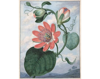 Pink passion flower art print, Passionflower, Passiflora, Passion flower painting, Antique botanical print, Floral wall art, Tropical flora