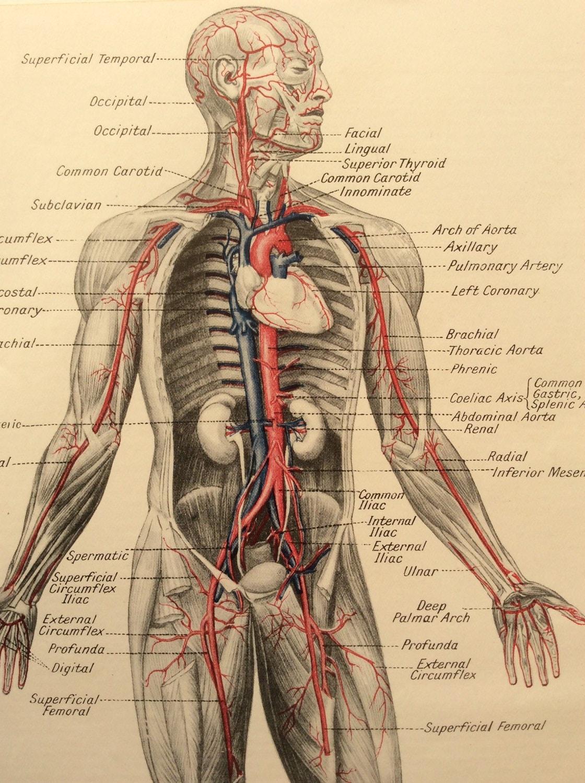 Anatomía humana Vintage 1950s Bookplate impresión médica diagrama ...