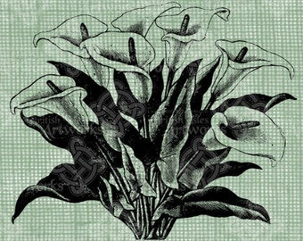 Digital Download Calla Lilies image Antique Flower Illustration  c. 1900, digi stamp, digis, digital stamp, Cala Lily