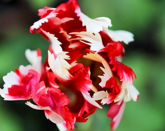 Floral Greeting Card - A top down close up of a red and white parrot tulip (Ruffled)
