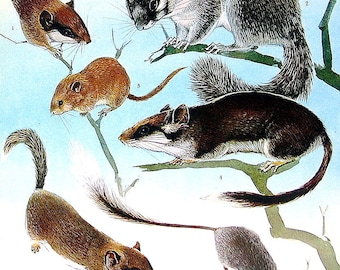 Animal Print - Forest Dormouse, Common Dormouse, African Dormouse, Pygmy Dormouse, Desert Dormouse - 1973 Vintage Book Page - 10 x 7