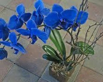 5 Blue Orchid Flower Seeds-1181A