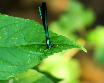 Big Eyed Little Dragonfly