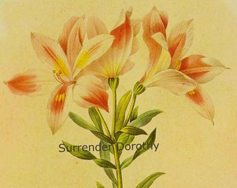 Alstroemeria Pelegrina Flower Vintage Lithograph Poster Print Redoute Botanical Lithograph To Frame 13