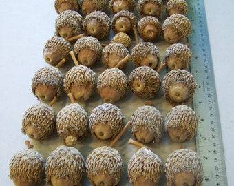 50 Burr Oak Acorns for Crafts Display Homestead Farmhouse Decor Nature Upcycling Jewelry Necklace Pendant