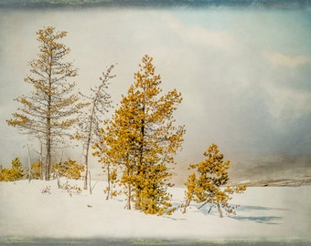 Fine Art Photograph,  Trees, Yellowstone, Winter, Golden, Blue