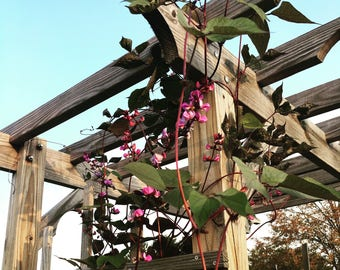 hyancinth bean vine