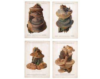 c. 1921 - 4x EDIBLE MUSHROOM LITHOGRAPHS - original vintage prints - fungi toadstool mycology bolete shrooms - agaricus bolletus polyporus