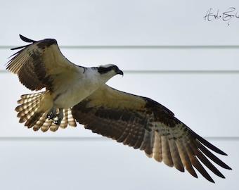 Osprey in Flight color photgraphy