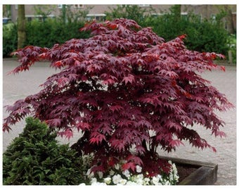 "Japanese Maple, Acer Palmatum, 2 Plants, 12""- 18"" Tall, 2.5"" Potted Plant, Deep Burgundy,  Bloodgood, 'Atropurpureum', Landscaping, Healthy"