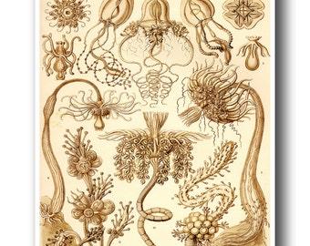 Ernst Haeckel Print, Marine Biology Print, Biology Poster, Brown Art, Natural History Scientific Illustration, Science Art