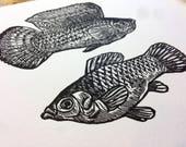 Sailfin Mollies Fish Aqua...