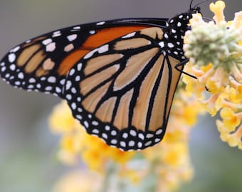 Nature Photography - Monarch Butterfly Before Migration - Multiple Sizes Available