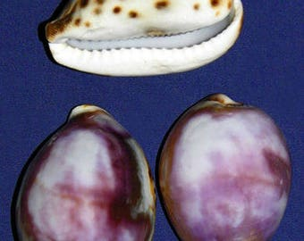 """Purple Top Cowrie Cowry Cypraea Shell~ 2-1/2""""~Craft Seashell Select 1/2/3 Pieces. FREE SHIPPING"""