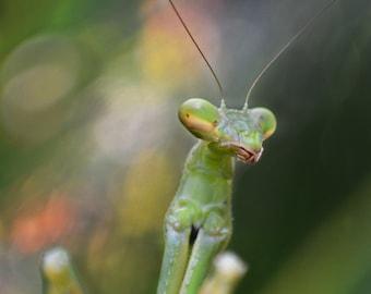 Praying Mantis Posing for Camera, Macro, Nature Photography