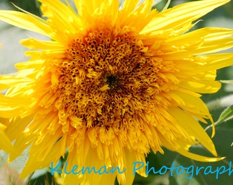 Sunflower 5x7 Matted Print