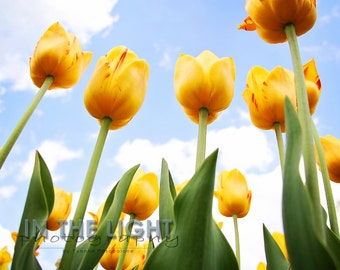 Reaching for Heaven - Yellow Spring Tulips - Fine Art Photograpy - 5x5, 8x8, other sizes available - fPOE