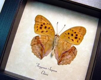 Rare Real Framed Argynnis Sagana Verso Butterfly 8427