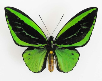 Real Green Birdwing Butterfly PAIR,  for your project, unmounted  O. priamus poseidon