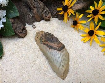 Fossilized Megalodon Tooth / Megalodon Shark Tooth / Large Shark Tooth / Great White Shark Tooth / Extinct Shark Tooth